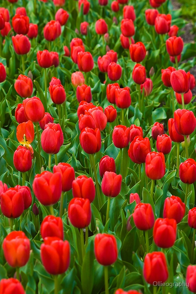 Tulips#11 by Ollieography