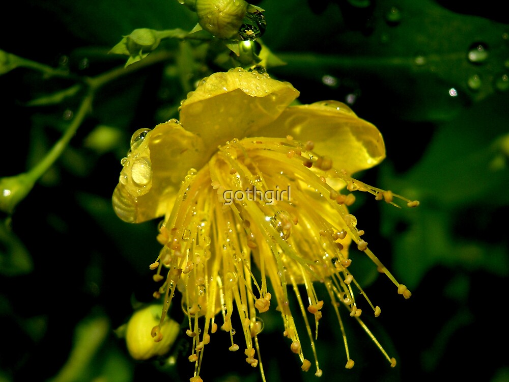 rain drops on yellow flower by gothgirl