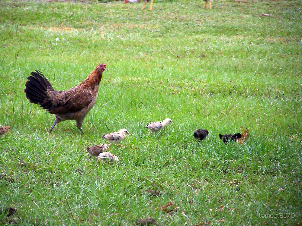 mama chicken and babies by tomcat2170