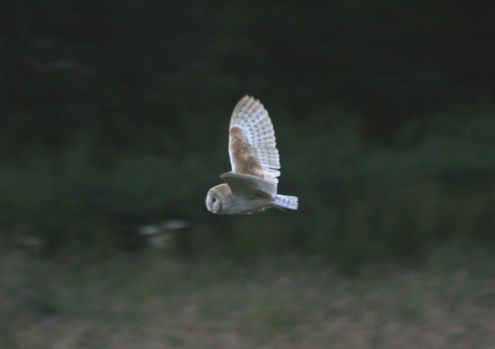 Barn Owl by Monster