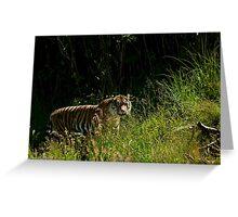 Sumatran Female Tiger Greeting Card