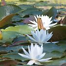 Water Lillies by Jill Doyle