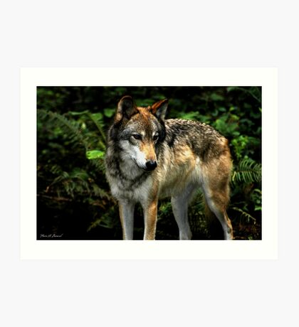 Curious Wolf (Canis lupus) Art Print