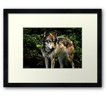 Curious Wolf (Canis lupus) Framed Print
