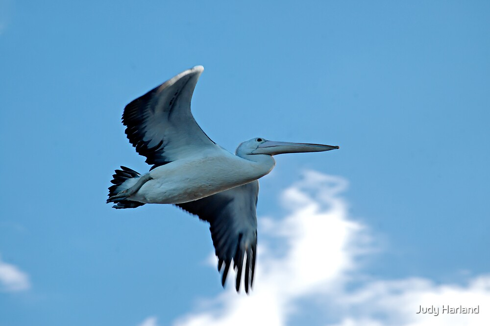 Pelican Fly By by J Harland