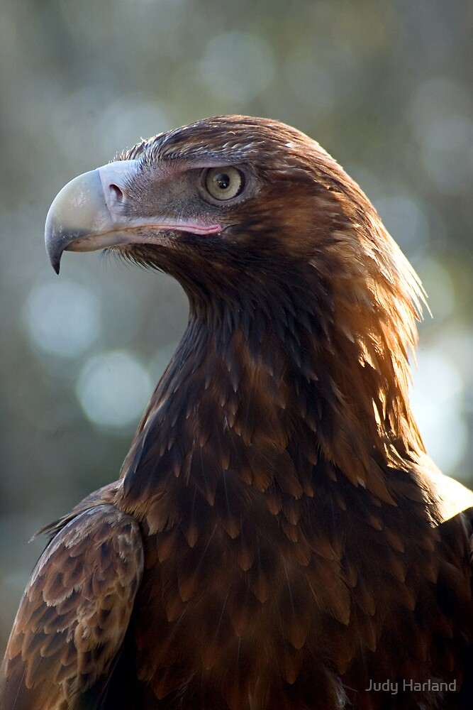 Wedgetail Eagle by J Harland