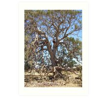 Gnarled aged magestic Red Gum. Art Print