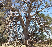 Gnarled aged magestic Red Gum. by Rita Blom