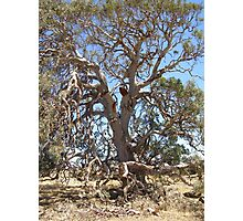 Gnarled aged magestic Red Gum. Photographic Print
