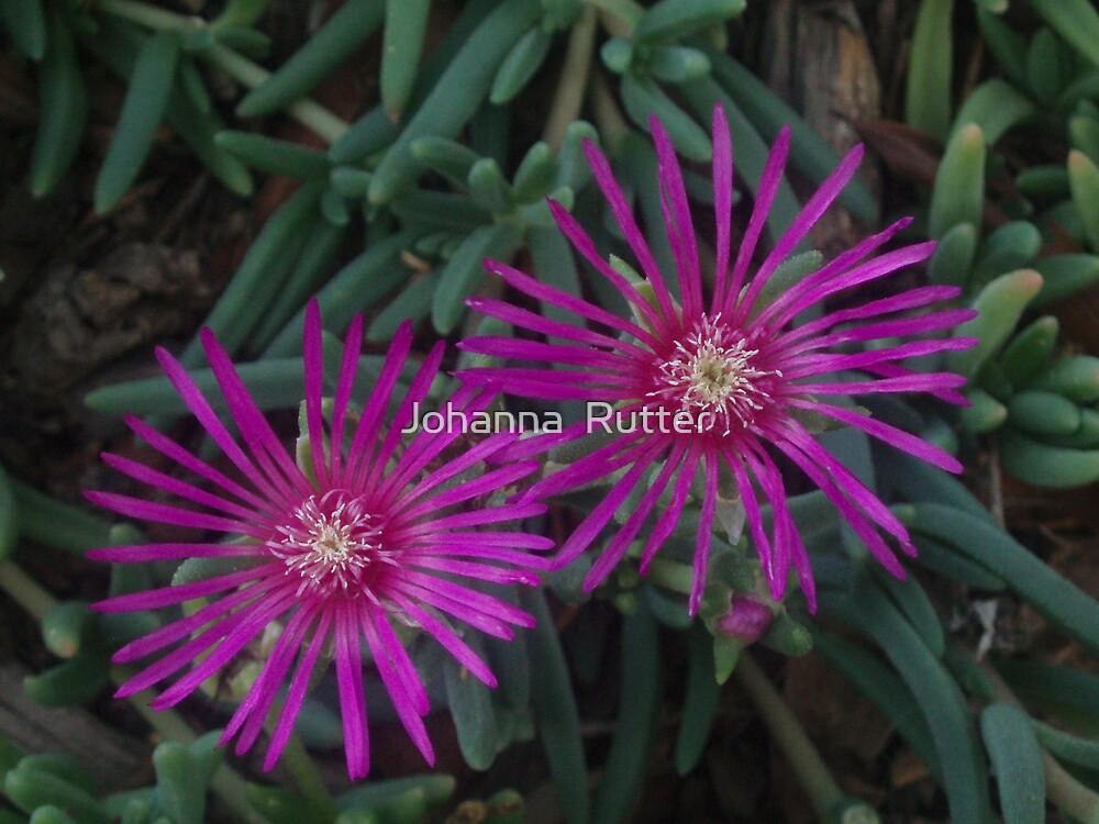 Purple Flower Fireworks by Johanna  Rutter