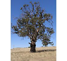 Sedentary Red Gum & new Growth. Mt. Pleasant. S.Aust. Photographic Print