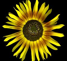 Sunflower by Jeffrey  Sinnock
