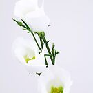 white flower by Claudia Reitmeier