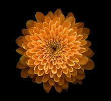 Chrysanthemum  by jymartin