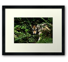 Forest Wolf (Canis lupus) Framed Print