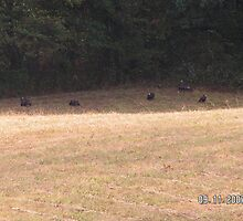 Turkeys in the back yard by suze49
