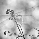 Dragonfly Too by Clare Colins