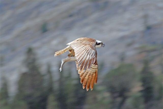Osprey Payload by raptrlvr