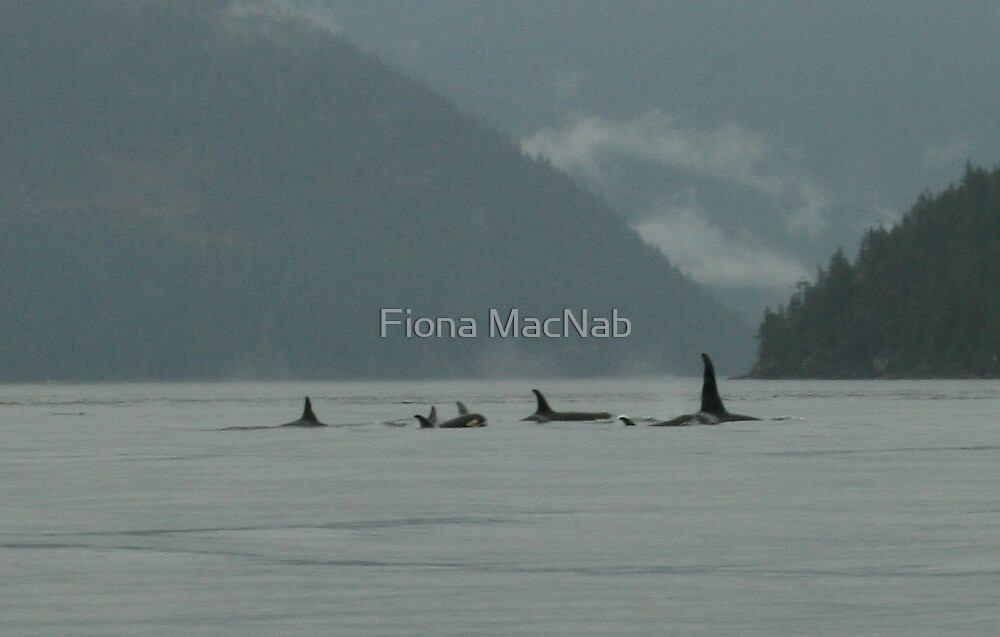 Pod of orcas by Fiona MacNab