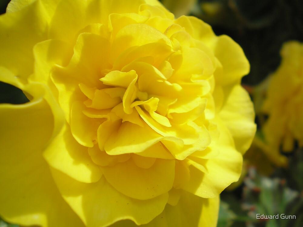 Begonia by Edward Gunn