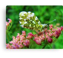 Female Orange Tip Butterfly Canvas Print
