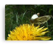 Green Veined White Butterfly Canvas Print
