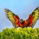 Rainbow Lorikeet by Pauline Tims