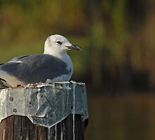 Seagull Sitting Pretty by Bonnie T.  Barry