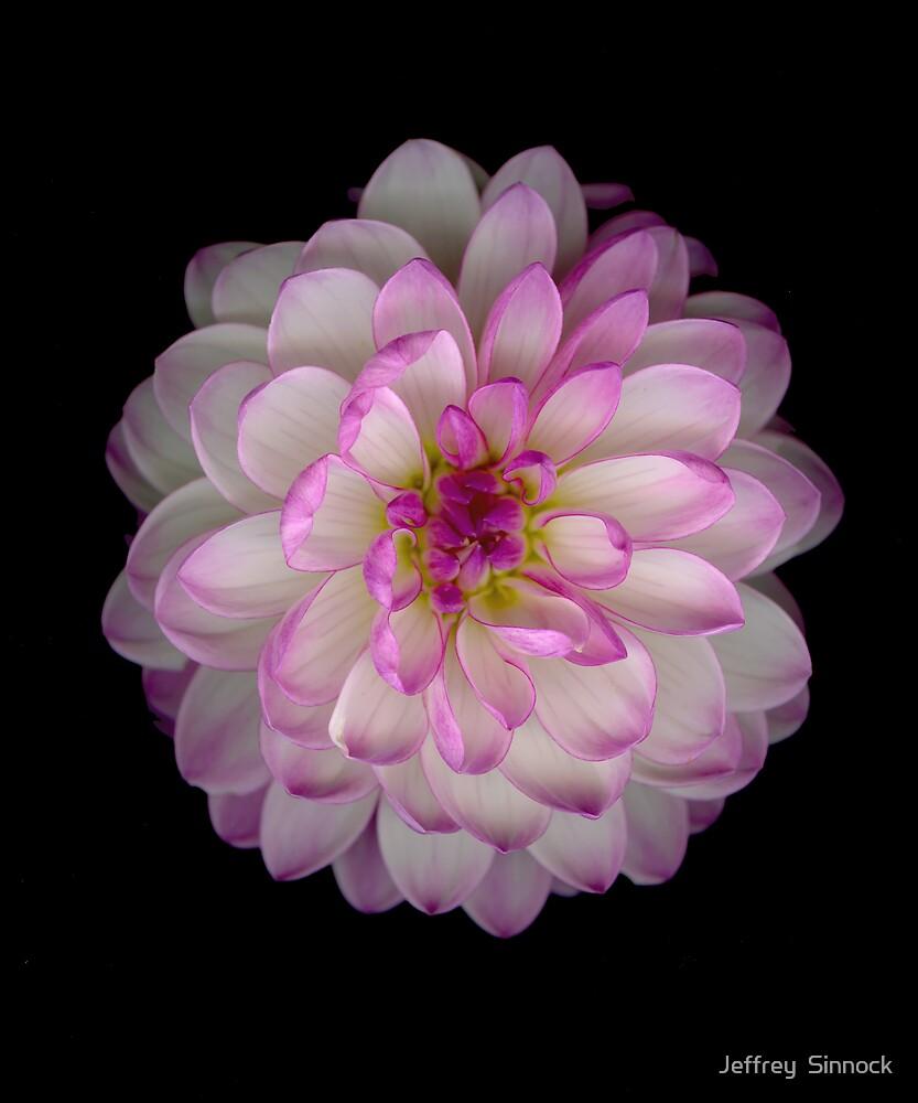 Pink and white Dahlia by Jeffrey  Sinnock