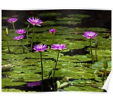 Waterlilies at Mt. Coot-tha Poster