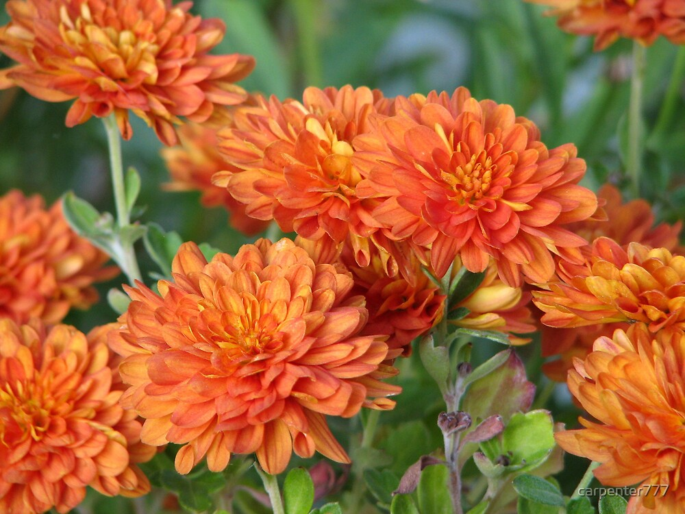 Mums the word by carpenter777
