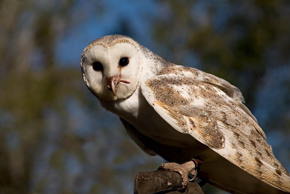 Barn Owl by J Harland
