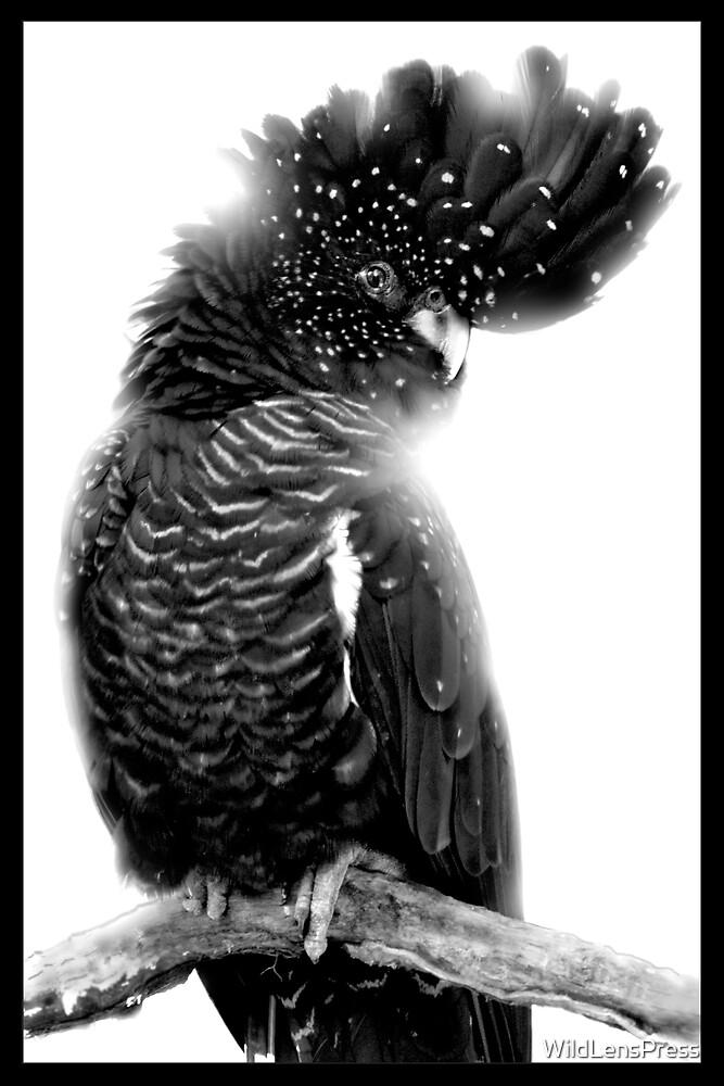 Red-tailed Black Cockatoo : Calyptorhynchus banksii by WildLensPress