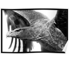 Wedge-tailed Eagle : Aquila audax Poster