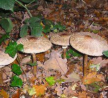 Mushrooms in leaf fall by manda