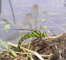Dragonfly by manda