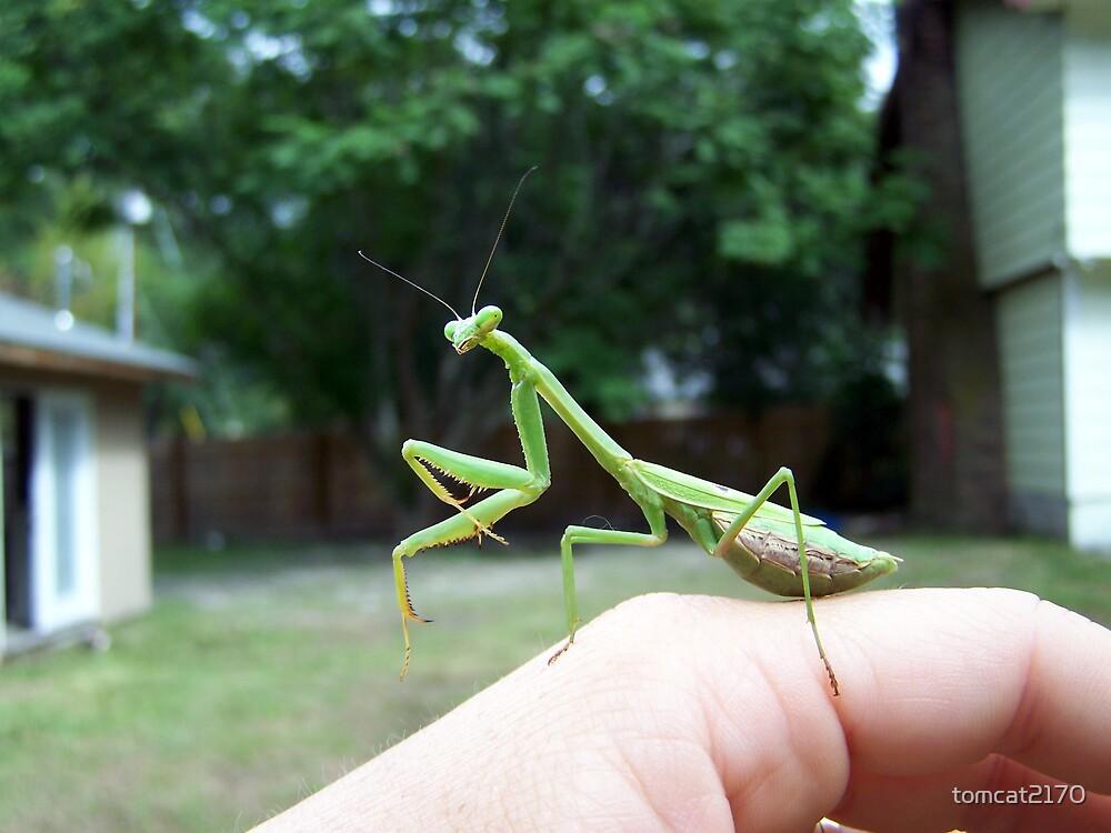 praying mantis by tomcat2170