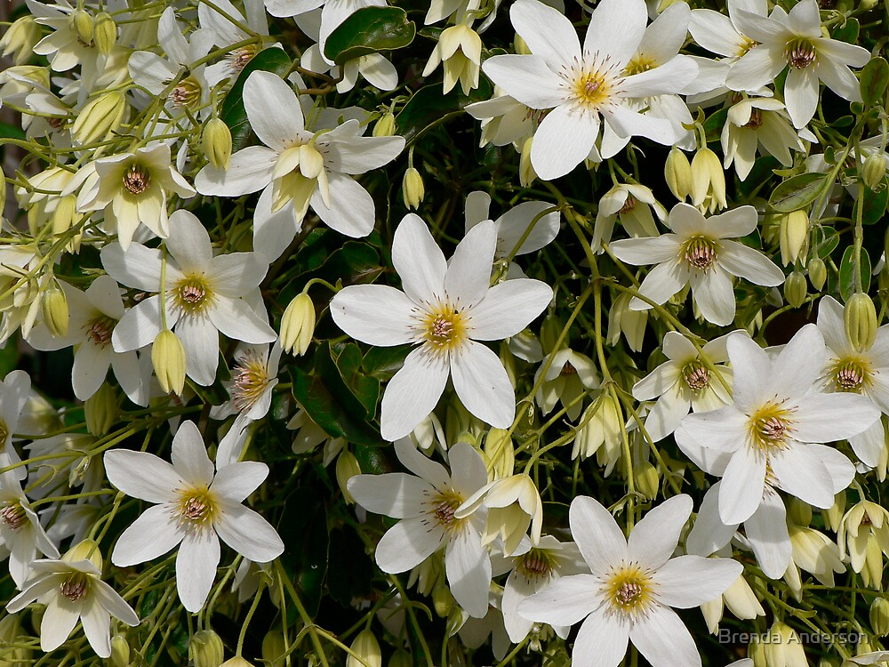 NZ Native Clematis by Brenda Anderson
