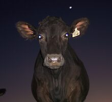 Nosy Cow by Shelley Norton
