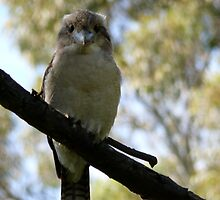 kookabarra not sitting on the electric wire by David Fulcher
