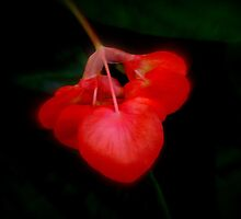 Beautiful begonia one by jmnowak