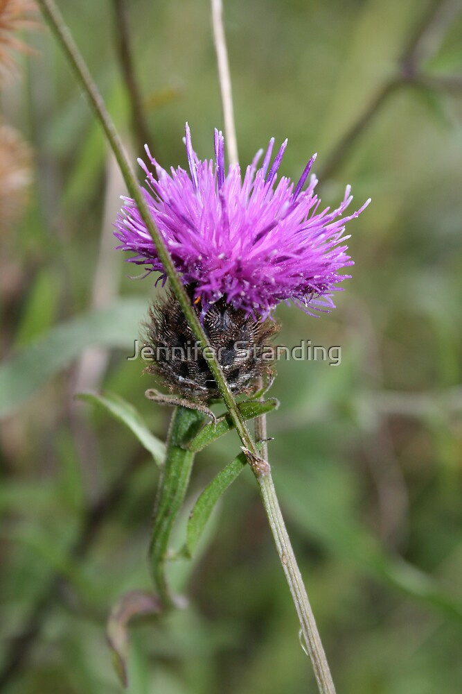 Greater Knapweed by Jennifer Standing