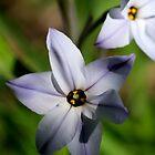 Flower of Light Blue by PsiberTek