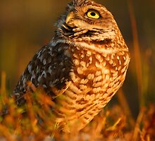 Burrowing Owl by William C. Gladish