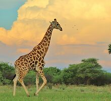 Giraffe - African Wildlife - The Rain is Coming by LivingWild