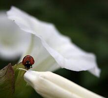A Little Ladybird by Jennifer Standing