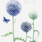 Echinops and Common Blue by Helen Lush