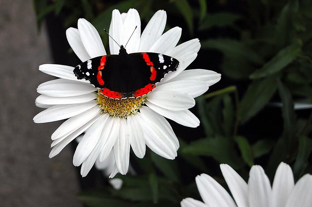 butterfly on flower by Stephen Frost