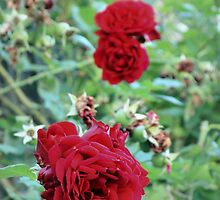 Red Roses by mouchette111