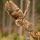 Tawny Takeoff by Dave Hare